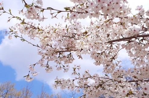 봄, 사랑, 벚꽃 그리고 공주 공산성 쌍수정, 충청남도역사박물관